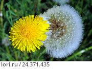 Купить «Blossom beside semen, Taraxacum officinale,common dandelion, meadow», фото № 24371435, снято 23 мая 2018 г. (c) mauritius images / Фотобанк Лори
