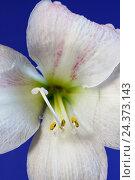 Купить «Amaryllis blossom», фото № 24373143, снято 16 декабря 2017 г. (c) mauritius images / Фотобанк Лори