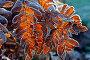 Frost-covered fern leaves of the decorative royal fern, Osmunda regalis, garden, winter,, фото № 24374143, снято 25 февраля 2017 г. (c) mauritius images / Фотобанк Лори