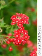 Купить «Vervain, Verbena, 'Novalis scarlet', close-up, blossom, autumn», фото № 24376855, снято 17 августа 2018 г. (c) mauritius images / Фотобанк Лори