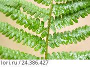 Купить «Male fern, Dryopteris filix-mas, leaf», фото № 24386427, снято 16 августа 2018 г. (c) mauritius images / Фотобанк Лори