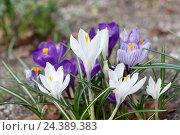 Купить «Crocuses, iris plants, Iridaceae,», фото № 24389383, снято 23 июля 2018 г. (c) mauritius images / Фотобанк Лори