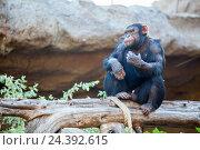 Купить «Шимпанзе сидит на дереве. Лоро парк (Loro Parque zoo), Санта Круз, Тенерифе, Канарские острова», фото № 24392615, снято 4 января 2016 г. (c) Кекяляйнен Андрей / Фотобанк Лори
