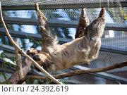 Купить «Двупалый ленивец Linnaeus Sloth в зоопарке. The Loro Parkue in Puerto de la Cruz, Tenerife, Canary, Spain», фото № 24392619, снято 4 января 2016 г. (c) Кекяляйнен Андрей / Фотобанк Лори