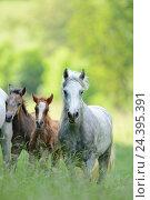 Купить «Connemara pony, mare with foal, belt, head-on, running, looking at camera,», фото № 24395391, снято 20 августа 2018 г. (c) mauritius images / Фотобанк Лори