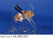 Купить «Golden hamster (Mesocricetus auratus) in the traversing wheel, hay leftovers, studio», фото № 24408087, снято 19 августа 2018 г. (c) mauritius images / Фотобанк Лори