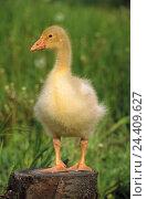 Купить «Goose, chick, meadow, animal, animals, birds, goose's birds, anatids, geese, young animals, goose's chicks, icon, young, nicely, sweetly, tree stump, summer,», фото № 24409627, снято 16 марта 2009 г. (c) mauritius images / Фотобанк Лори