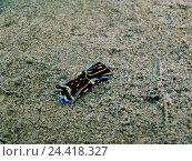 Голожаберный моллюск, остров Бали, Пури Джати, Индонезия. Стоковое фото, фотограф Александр Огурцов / Фотобанк Лори
