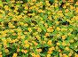 Жёлтые цветы, фото № 24422047, снято 1 декабря 2016 г. (c) Алексей Кузнецов / Фотобанк Лори