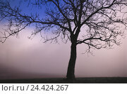 Купить «Meadow, silhouette, tree, autumn, fog field scenery, solitaire tree, broad-leaved tree, leafless, foggy, foggy, fog patches, icon, conception, loneliness...», фото № 24424267, снято 30 декабря 2005 г. (c) mauritius images / Фотобанк Лори