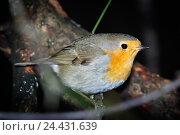 Купить «Зарянка. Robin (Erithacus rubecula).», фото № 24431639, снято 27 ноября 2016 г. (c) Василий Вишневский / Фотобанк Лори
