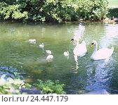 Купить «Switzerland, Basel scenery, Munich stone, lake, swans, Cygnus olor, young animals, swim, Europe, town, park, gravel way, animals, birds, birds passage...», фото № 24447179, снято 24 октября 2005 г. (c) mauritius images / Фотобанк Лори