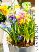 Купить «early flowering plants, spring flowers, onion plants in the pot», фото № 24456327, снято 20 апреля 2018 г. (c) mauritius images / Фотобанк Лори
