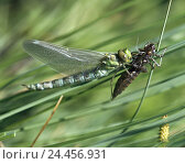Купить «Blade grass, great dragonfly, Anisoptera, larva, slipped, insects, insect, dragonfly, dragonflies, slip, no specifics originator», фото № 24456931, снято 19 апреля 2000 г. (c) mauritius images / Фотобанк Лори