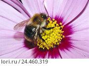 Купить «Blossom, petals, pink, detail, dust vessels, earth bumblebee, Bombus, terrestris nature, flower, dust, zoology, animal world, animal, animals, insect,...», фото № 24460319, снято 30 ноября 2004 г. (c) mauritius images / Фотобанк Лори