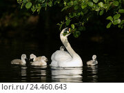 Купить «Lake, hump swans, Cygnus olor, mother animal, young animals, waters, pond, animals, birds, birds passage, goose's birds, Anseriformes, anatids, Anatidae...», фото № 24460643, снято 23 декабря 2004 г. (c) mauritius images / Фотобанк Лори