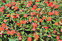 Красные цветы и зелёные листья, фон, фото № 24461623, снято 1 декабря 2016 г. (c) Алексей Кузнецов / Фотобанк Лори
