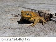 Ядовитая тростниковая жаба  (Bufo marinus), Австралия (2009 год). Стоковое фото, фотограф NataMint / Фотобанк Лори