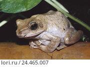 Купить «White beard oar frog, Rhacophorus, leucomystax, animals, animal, amphibians, frog Amphibians, frog Amphibian, Amphibians, Amphibian, white beard oar frog, oar frogs oar frog, frogs, frog,», фото № 24465007, снято 24 июня 2004 г. (c) mauritius images / Фотобанк Лори