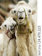Купить «Zoo, animals, Camelus bactrianus, portrait animal park, animals, mammals, cloven-hoofed animals, Schwielensohler, bactrine camel, Camelus ferus, Camelus...», фото № 24470223, снято 16 июля 2018 г. (c) mauritius images / Фотобанк Лори