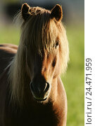 Купить «Iceland horse, portrait, animals, animal, mammals, mammal, uncloven-hoofed animal, horses, horse, riding horses, riding horse, horse's race, thoroughbred...», фото № 24471959, снято 23 декабря 2004 г. (c) mauritius images / Фотобанк Лори