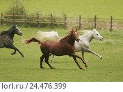 Купить «Meadow, horses, Arabs, three, gallop, animals, mammals, uncloven-hoofed animals, horses, riding horses, horse's race, thoroughbred horses, fur colour,...», фото № 24476399, снято 15 декабря 2004 г. (c) mauritius images / Фотобанк Лори