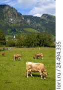 Купить «Germany, Bavaria, Allgäu, Hindelang, pasture, cows, Europe, South Germany, town, aerial health resort, Idyll, scenery, cow's pasture, cattles, agriculture...», фото № 24494335, снято 4 ноября 2004 г. (c) mauritius images / Фотобанк Лори