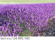 Купить «Lavender field, Lavandula spec., detail, field, field, annex, lavender, plants, flowers, blossom, blossoms, mauve, period of bloom, lavender blossoms,...», фото № 24495143, снято 30 декабря 2018 г. (c) mauritius images / Фотобанк Лори