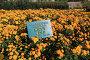Бал хризантем в Никитском ботаническом саду, Крым, эксклюзивное фото № 24496283, снято 24 октября 2016 г. (c) Яна Королёва / Фотобанк Лори