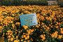 Хризантема садовая. Никитский ботанический сад, эксклюзивное фото № 24496295, снято 24 октября 2016 г. (c) Яна Королёва / Фотобанк Лори