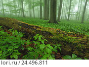 Deciduous forest, plants, dead wooden, fog, spring, Germany, Thuringia, national park Hainich,, фото № 24496811, снято 21 февраля 2008 г. (c) mauritius images / Фотобанк Лори
