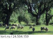 Купить «Spain, ex-diaeresis dura, cork oaks, Quercus suber, sheep, graze, spring,», фото № 24504159, снято 20 мая 2009 г. (c) mauritius images / Фотобанк Лори
