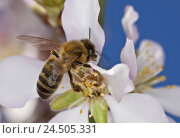 Купить «Tonsil blossoms, western honeybee, Apis mellifera, Majorca, almond tree, period of bloom, blossoms, petals, dust vessels, nature, animal, insect, hymenoptera...», фото № 24505331, снято 20 августа 2018 г. (c) mauritius images / Фотобанк Лори