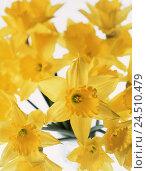 Купить «Narcissi, yellow, Narcissus pseudonarcissus, daffodils, daffodil, narcissus, flower, amaryllis plants, flower, blossoms, blossom, plant, nature, near, inside», фото № 24510479, снято 22 июня 2001 г. (c) mauritius images / Фотобанк Лори