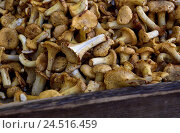 Купить «Chanterelles, fungi, detail, sales booth, market stall, freshly, Cantharellus, chanterelle, bar fungi, yellow thrush, delicacy, food, edible mushrooms, eatable,», фото № 24516459, снято 18 января 2010 г. (c) mauritius images / Фотобанк Лори