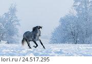 Зимний пейзаж и скачущая серая лошадь. Стоковое фото, фотограф Абрамова Ксения / Фотобанк Лори