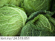 Купить «Savoy cabbage, detail, Brassica sabauda, savoy cabbage, cabbage, vegetables, green, healthy, cabbage head head, freshly, rich in vitamins, vegetarian,...», фото № 24519051, снято 18 января 2010 г. (c) mauritius images / Фотобанк Лори
