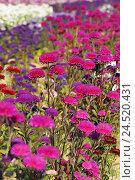 Купить «Summer asters, Callistephus chinensis,», фото № 24520431, снято 3 февраля 2010 г. (c) mauritius images / Фотобанк Лори