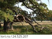 Купить «Meadow, common oak, Quercus robur, evening light, scenery, rurally, plants, trees, broad-leaved trees, oak, common oak, summer oak, summer oak, branches...», фото № 24525207, снято 13 февраля 2009 г. (c) mauritius images / Фотобанк Лори