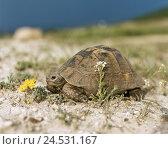 Купить «Beach, Greek's country-turtle, Testudo hermanni, at the side, sand-ground, sand, wildlife, animal, game-animal, reptile, turtle, Testudines,», фото № 24531167, снято 18 августа 2018 г. (c) mauritius images / Фотобанк Лори