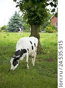 Купить «Cow, meadow, graze,», фото № 24535915, снято 16 июля 2010 г. (c) mauritius images / Фотобанк Лори