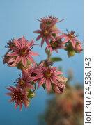 Купить «Hauswurz, blossoms, Dachwurz, Sempervivum, inflorescence, plant, alpine, pink ones,», фото № 24536143, снято 9 августа 2010 г. (c) mauritius images / Фотобанк Лори