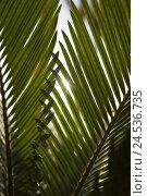 Купить «Palm fern, palm whisk, Cycas revoluta, the sun, back light,», фото № 24536735, снято 17 августа 2018 г. (c) mauritius images / Фотобанк Лори