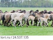 Купить «Germany, Merfelder rupture, Dülmener wild horses, focuses, mare, foal, pasture,», фото № 24537135, снято 15 апреля 2007 г. (c) mauritius images / Фотобанк Лори