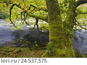 Купить «Great Britain, Scotland, Argyllshire, river, tree, moss, detail,», фото № 24537575, снято 2 сентября 2009 г. (c) mauritius images / Фотобанк Лори