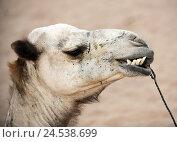 Купить «Camel, desert, portrait,», фото № 24538699, снято 15 июля 2009 г. (c) mauritius images / Фотобанк Лори