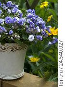 Купить «Flowerpot, Campanula haylodgensis, blossoms, mauve,», фото № 24540027, снято 22 сентября 2018 г. (c) mauritius images / Фотобанк Лори