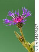 Купить «Perennial cornflower, Centaurea Montana,», фото № 24540667, снято 30 сентября 2010 г. (c) mauritius images / Фотобанк Лори