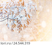 Купить «Листья рябины в снегу», фото № 24544319, снято 10 декабря 2016 г. (c) Икан Леонид / Фотобанк Лори