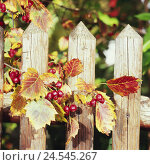 Купить «Wooden fence, whitethorn shrub, forks, fruits, detail, autumn, fence, pickets, shrub, garden, whitethorn, nature, autumnally, rose plant, season,», фото № 24545267, снято 17 сентября 2019 г. (c) mauritius images / Фотобанк Лори
